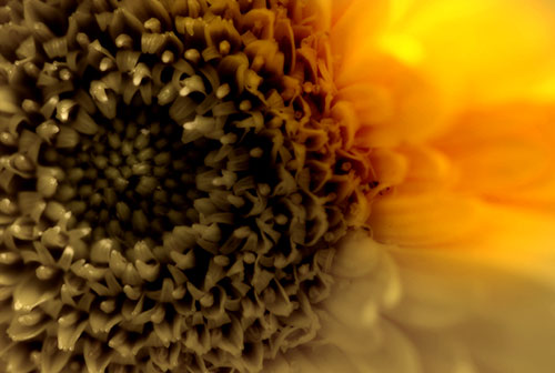 An artistically enhanced image of a Chrysanthemum flower in Lancaster PA -- Robert Winton, Wedding Photographer, Pennsylvania.