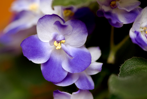 African Violet, May 2007 -- Robert Winton, Wedding Photographer, Pennsylvania.